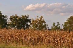 成熟玉米棒的玉米 免版税图库摄影