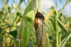 成熟玉米棒的玉米 库存照片