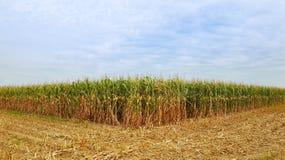 成熟玉米玉米棒的领域  免版税库存图片