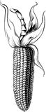 成熟玉米玉米棒  库存图片