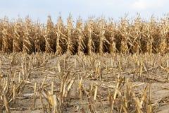 成熟玉米,秋天 免版税库存照片