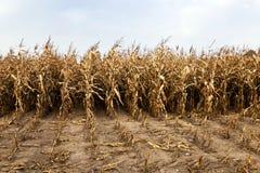 成熟玉米,秋天 图库摄影