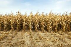 成熟玉米,秋天 库存图片