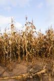 成熟玉米,秋天 库存照片