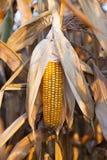 成熟玉米 免版税图库摄影