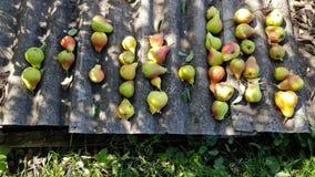 成熟玫瑰色黄色梨行  库存图片