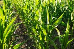 成熟甜玉米行在玉米田在一个晴天 Ripeni 库存照片