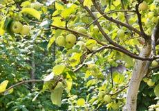 成熟甜苹果在树枝增长 库存照片