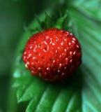 成熟甜草莓特写镜头  免版税库存图片