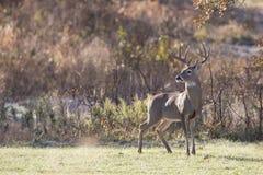 成熟白尾鹿大型装配架好的外形  图库摄影