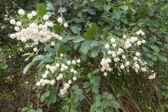 成熟白色manjack果子 免版税图库摄影