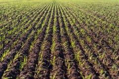成熟的冬天谷物,冬天粮田在9月排行了在一美好,晴朗的秋天天 免版税库存照片