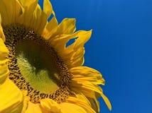 成熟的向日葵 免版税库存照片