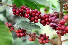 成熟的咖啡豆 免版税库存照片