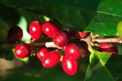 成熟的咖啡 免版税库存照片