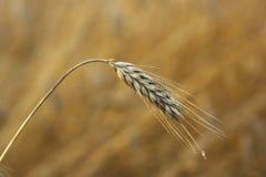 成熟的大麦的一个唯一耳朵在一个领域的在北爱尔兰 免版税库存图片
