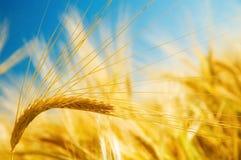 成熟的大麦 免版税库存照片