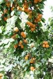 成熟的杏子 免版税库存图片