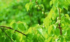 成熟的杏子 免版税库存照片