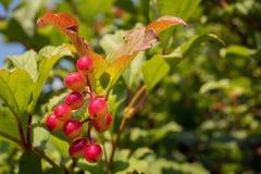 成熟的束箭头木头莓果 免版税库存照片