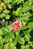 成熟的果子和绿色叶子在野生玫瑰丛的分支 庭院和公园灌木,狂放上升了 免版税库存图片