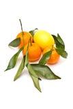 成熟的柑橘 库存图片