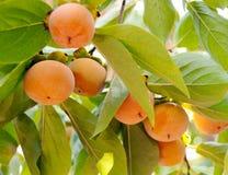 成熟的柿子 库存图片