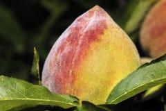 成熟的桃子在阳光下 库存照片