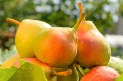 成熟的梨 免版税库存照片