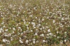 成熟的棉花 图库摄影