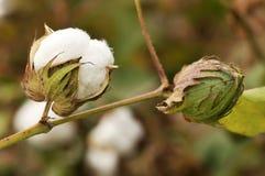 成熟的棉花 库存照片