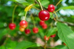 成熟的樱桃变酸 图库摄影