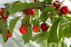 成熟的樱桃堆 库存图片
