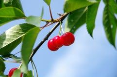 成熟的樱桃 免版税库存图片