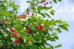 成熟的樱桃 免版税图库摄影