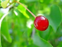 成熟的樱桃! 免版税库存图片