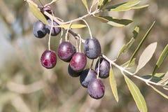 成熟的橄榄 免版税库存照片