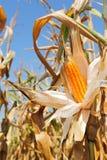 成熟的玉米棒子-黄色和 免版税库存照片