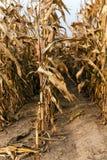 成熟的玉米 秋天 库存图片