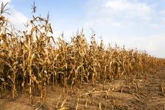 成熟的玉米 秋天 免版税库存照片