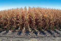 成熟的玉米 免版税图库摄影