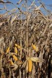 成熟的玉米 库存图片