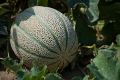 成熟的甜瓜 免版税库存照片