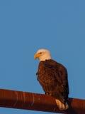 成熟的白头鹰 免版税库存图片