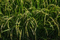 成熟的米等待的收获 免版税库存照片
