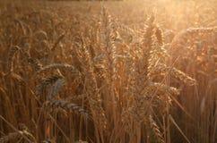 成熟的耳朵黄色麦子背景  库存图片