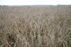 成熟的耳朵黄色麦田背景在农村草甸自然,与拷贝空间的富有的收获的 库存图片