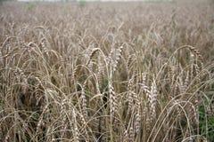 成熟的耳朵黄色麦田背景在农村草甸自然,与拷贝空间的富有的收获的 库存照片