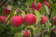 成熟的苹果 图库摄影
