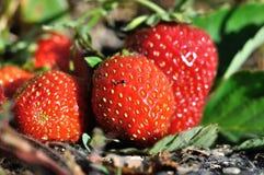 成熟的草莓特写镜头  库存图片